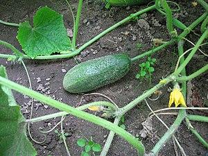 English: Cucumber