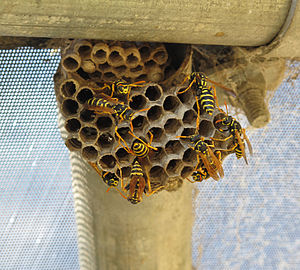 English: Paper wasps and nest, about 8 feet of...