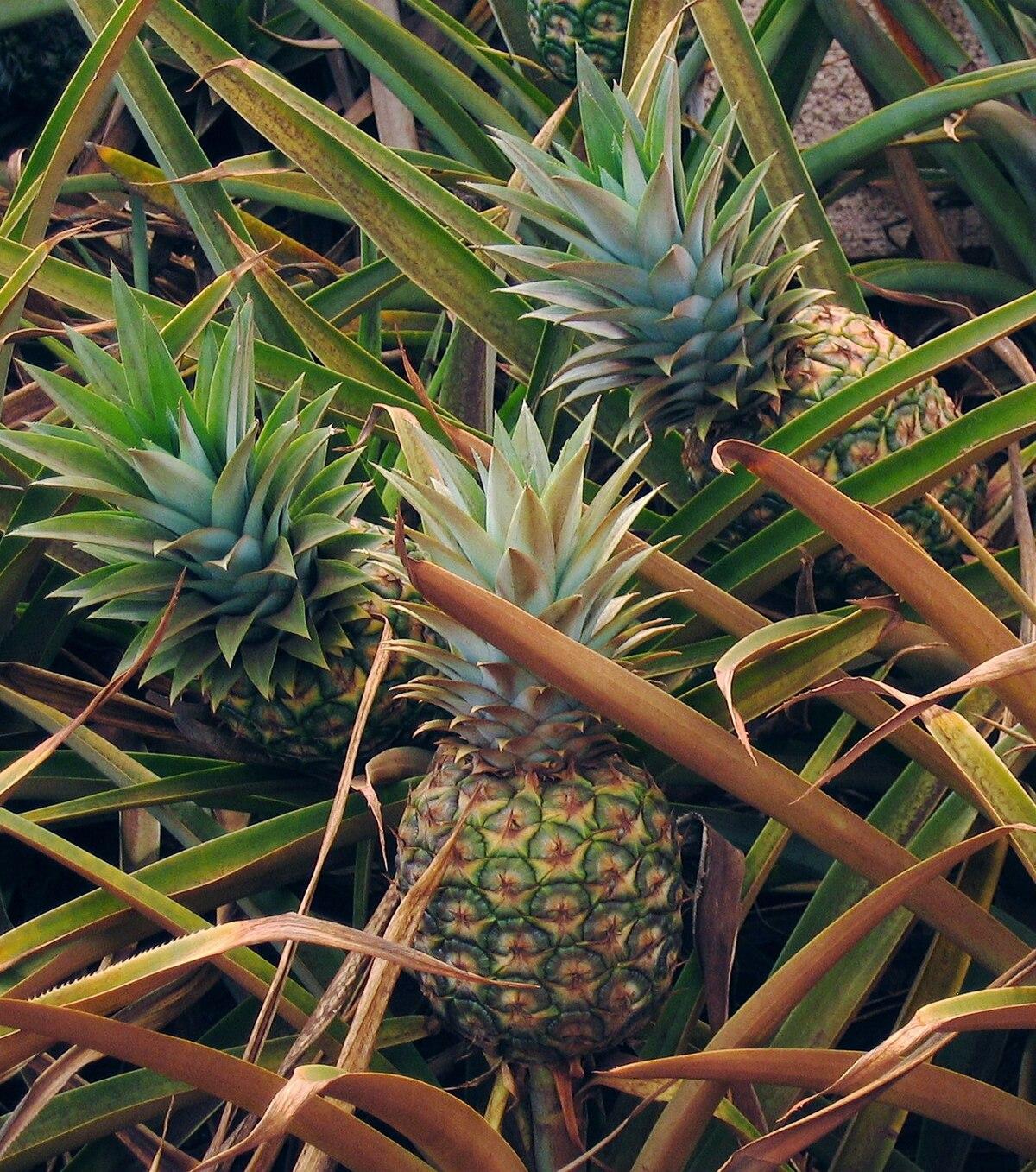 Ananas (Ananas comosus), Ananaspflanze mit reifer Frucht