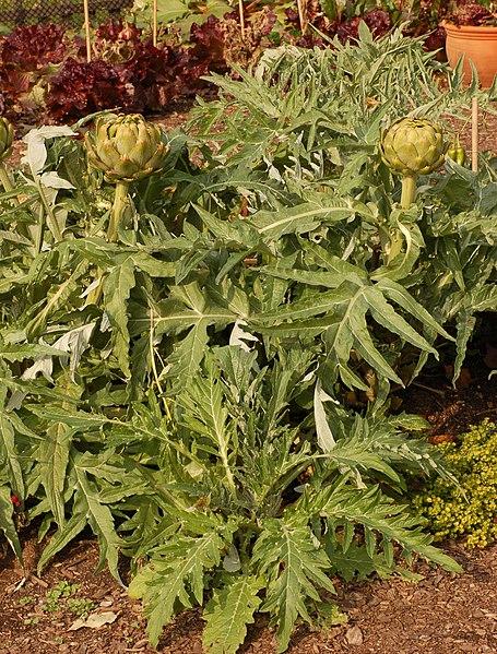 File:Artichoke Cynara cardunculus Plants 2000px.jpg