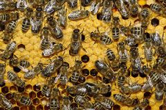 English: Bees and drones on a honeycomb Deutsc...