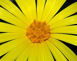 Field Marigold flower