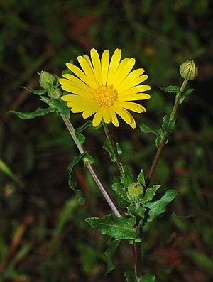 English: A Field Marigold inflorescence (Calen...