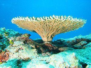 English: Table coral of genus Acropora (Acropo...