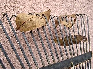 English: Leaves on a leaf rake