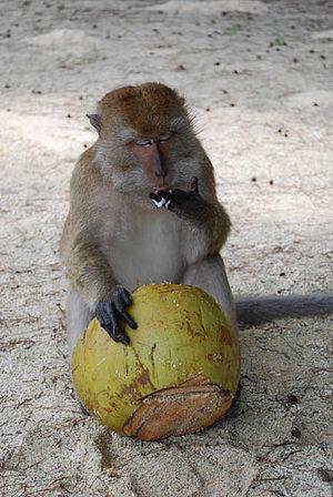 monkey in langkawi island