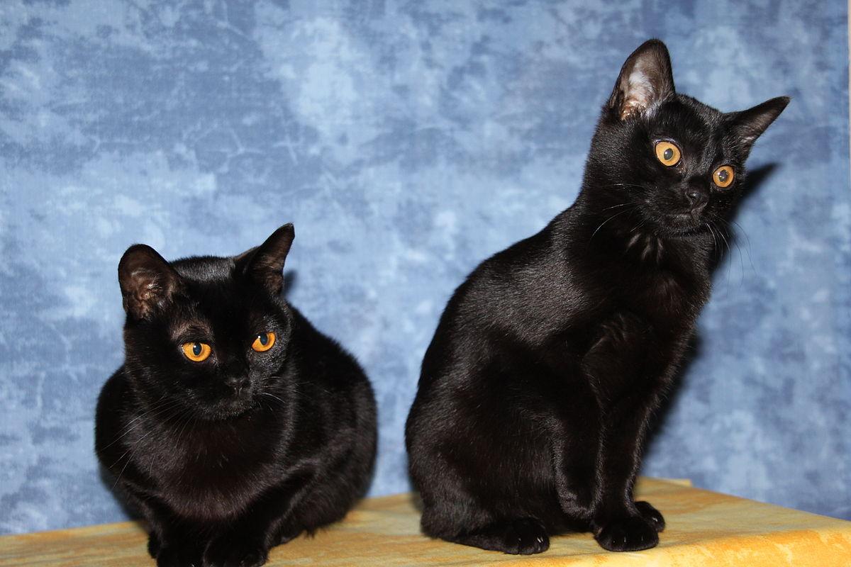 Bombay-Katze – Wikipedia