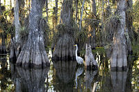 Parc national des Everglades cypress.jpg