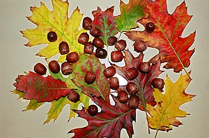 English: Fall leaves and acorns