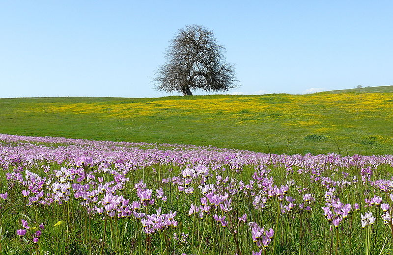 File:Flowering Shooting Stars, San Luis Obispo County, CA.jpg