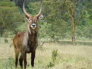 Kobus ellipsiprymnus in Lake Nakuru.jpg