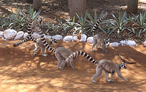 English: Ring-tailed Lemurs (Lemur catta) trav...