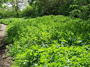 Nettle (Urtica dioica), Hamptworth - geograph....