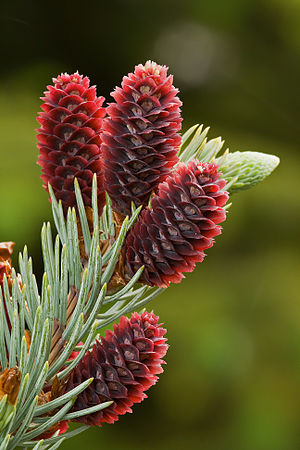 English: Young cones of a Colorado Blue Spruce...