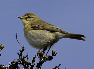 English: Willow Warbler (trochilus) Whiteworks...