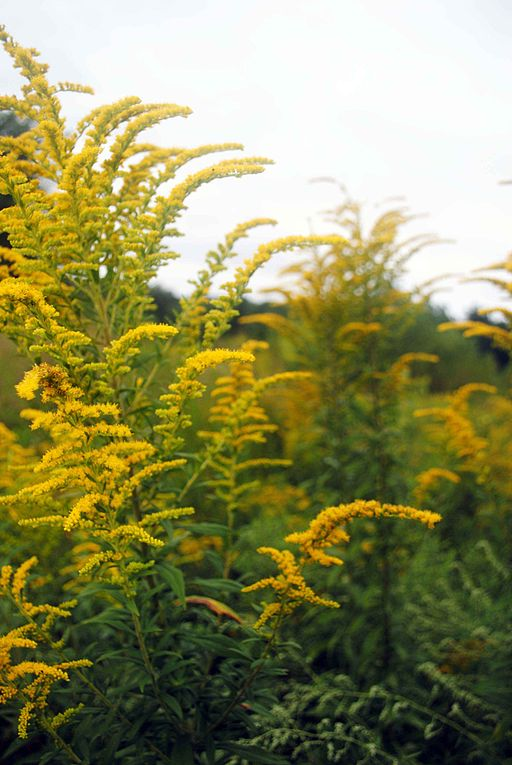 Yellow goldenrod wildflower