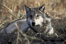Canis lupus laying in grass.jpg