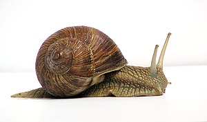 Picture of a grapevine snail.