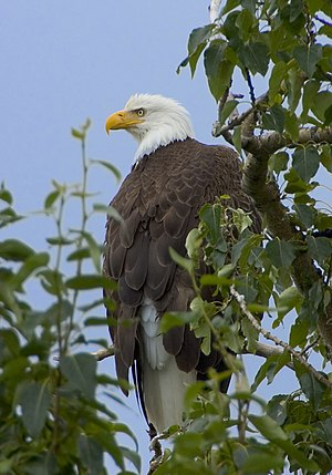 English: Bald Eagle (Haliaeetus leucocephalus)...