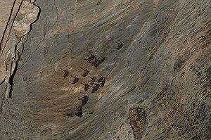 English: Bats in Phu Wai cave