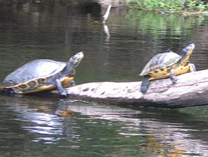 A Suwannee River Cooter.