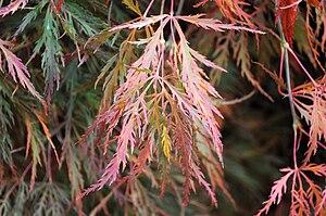 English: Acer palmatum, autumn foliage. Seattl...