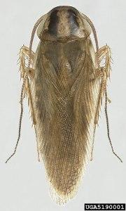 English: Adult Asian cockroach - Blattella asa...