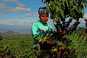 Coffee picker on Salvadoran cooperative Ciudad...