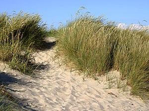 White dune with Marram grass (Ammophila arenar...