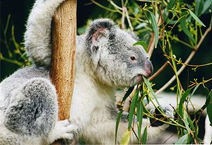 Phascolarctos cinereus Koala eating eucalyptus...