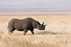 Ngorongoro Spitzmaulnashorn