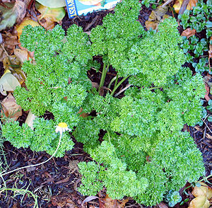 This is a curly leaved parsley plant (the comm...