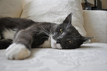 English: Cat lying on a couch.