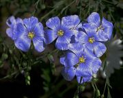 English: Flowers of Flax (Linum usitatissimum)...