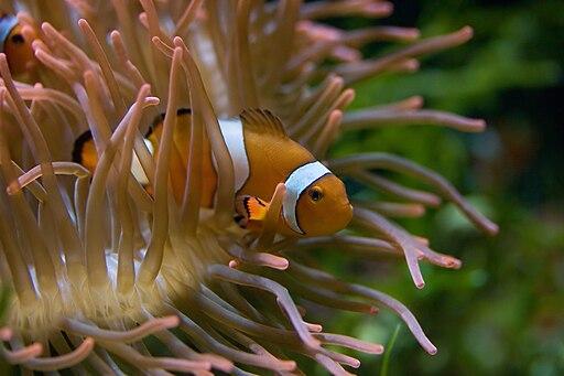 Symbiose: Clownfisch und Seeanemone