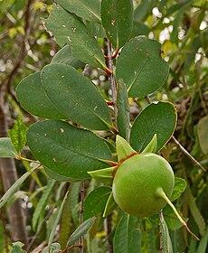 Sonneratia caseolaris (L.) Engl.