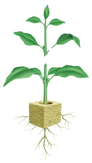 Schematic showing a plant cutting