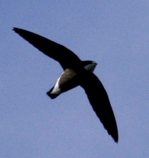 English: White-throated Needletail (Hirundapus...