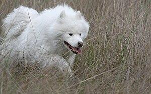 English: Samoyed male dog Español: Perro samoy...