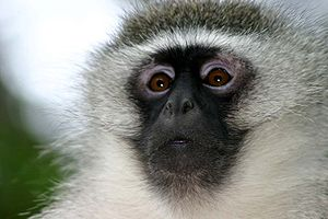 The face of an adult Vervet Monkey