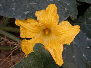 English: A Pumpkin flower attached to the vine.