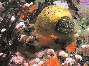 Sea Lemon (species Peltodoris nobilis) nudibra...