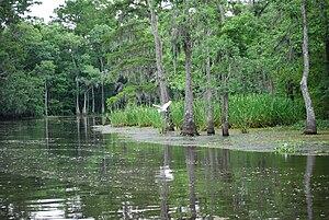 Great White Egret over Bayou, Louisiana