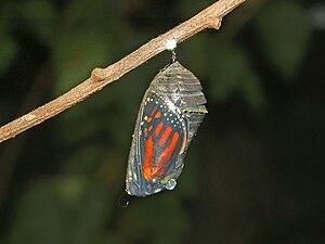 English: Danaus plexippus