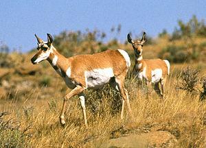 Pronghorn antelope on the Fort Keogh rangeland.