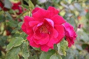 {{fr}} Rose Red Parfum - Roseraie de Bagatelle...