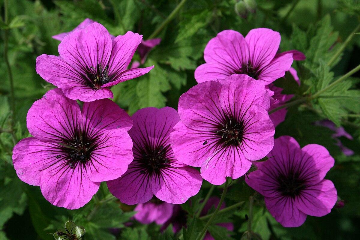 Tall Flowering Shrubs