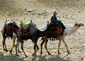 Domesticated Egyptian camels at the Pyramids o...