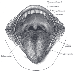 The mouth cavity. The cheeks have been slit tr...