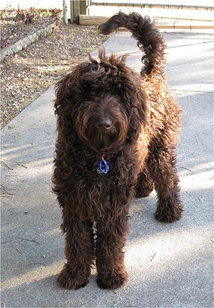 An Australian male Labradoodle at 9 month of age.